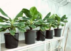 Как вырастить банан в комнатных условиях