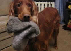 Собака съела носок. что делать?
