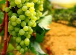 Календарь работ на винограднике