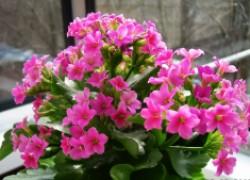 Почему каланхоэ не цветет и как этого добиться