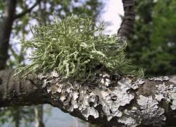 Опасное украшение, или Как избавиться от лишайников