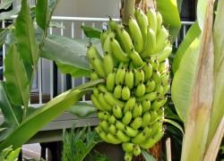 Вырастил банан из семян
