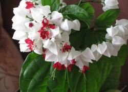 Как заставить клеродендрум цвести