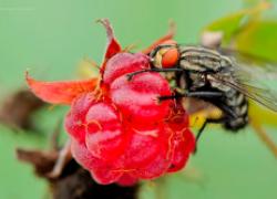 Как бороться с малинной стеблевой мухой