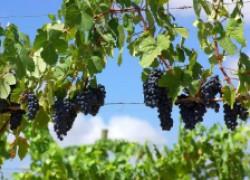 Любительский виноградник – это когда всего понемногу
