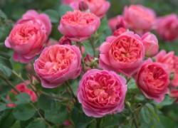 Розы остина должны быть в каждом цветнике