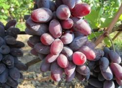 Байконур – новая гибридная форма винограда
