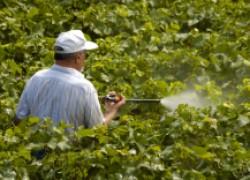 Что такое искореняющее опрыскивание на винограднике