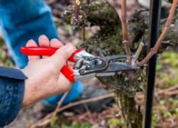 Обрезка неукрывного винограда