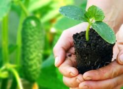 Выращиваем крепкую рассаду огурцов