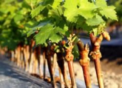 Весенняя посадка виноградных черенков на постоянное место