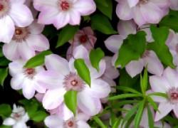 Особенности ухода за королем цветника – клематисом