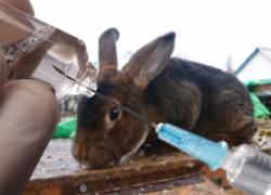Как защитить кролика от лихорадки?