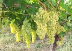 Как прищипнуть молодой виноград