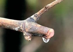 Виноградные раны: как их лечить