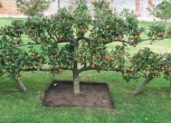 Яблони ниже − яблок больше