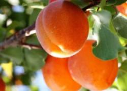Какой абрикос не боится заморозков?