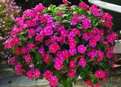 Безупречный цветок катарантус