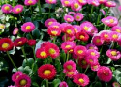 Маргаритки – цветы переднего плана