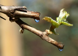 Кто обидел виноград, или почему плачет лоза?
