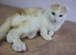 Болезнь шотландских вислоухих у беспородного котенка