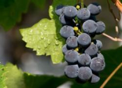 Виноградные вопросы