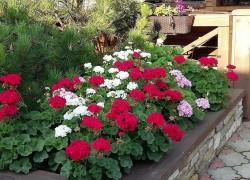 Почему герань – самое идеальное растение для цветника?