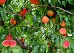 Чем заболели мои персики