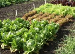 Схема посадки овощных культур на участке