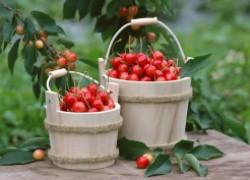 Не прозевайте урожай черешни