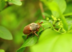 Надо ли бояться майского жука