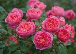 Почему розы скидывают бутоны