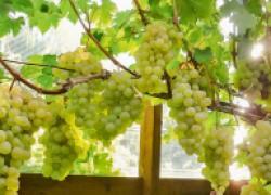 ПЯТЬ самых главных ошибок при выращивании винограда