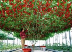 Существуют ли помидорные деревья