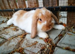 Парез у кроликов