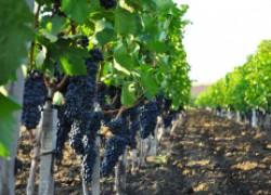 Если погода не балует, или Ждем эпидемии болезней на виноградниках