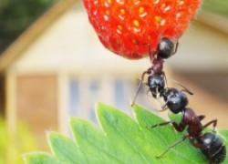Муравьям НЕТ, или Выбираем препараты от муравьев