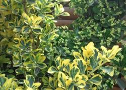 Бересклет японский – украшение сада