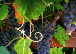 Нужно ли стричь виноградные усы