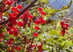 Краснеют ягоды у смородины: рано радуемся?
