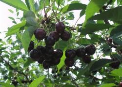 Как заставить плодоносить упрямое растение