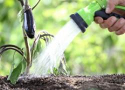 Как вырастить баклажаны: шесть секретов хорошего урожая