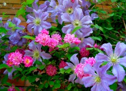 Королевский дуэт розы и клематиса