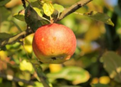 Почему на яблоне мало яблок?