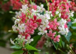 Квисквалис – ароматная экзотика, которая может расти дома