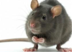 Интеллект крысы стоит на уровне с приматами