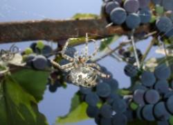 Паук винограднику друг