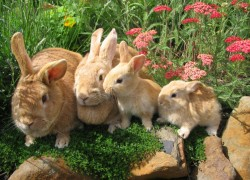 Почему кролики едят свой помет