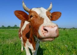 Власоеды у коров
