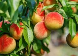 От чего зависит урожай персиков